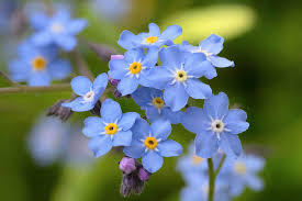 Myosotis sylvatica (Wood Forget-Me-Not)