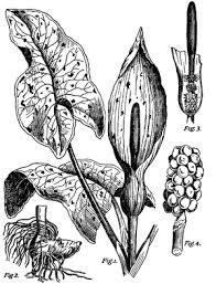 Cuckoo Pint - Arum maculatum - Overview - Encyclopedia of Life