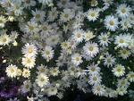 Images & Illustrations of daisy bush