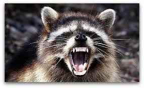 Image result for Racoon