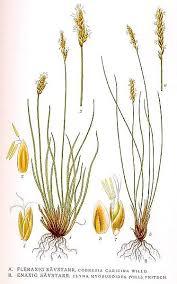 File:429 Cobresia caricina, Elyna myosuroides.jpg - Wikimedia ...