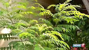 images for karuveppilai leaves க்கான பட முடிவு