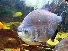Resultado de imagem para imagens de receitas de peixes PIRAPITINGA