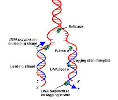 Image result for dna replication diagram
