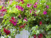 31 Best Pelargoniums images | Pelargonium, Geraniums, Plants