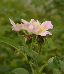 Rosa tomentosa – Wikipédia, a enciclopédia livre