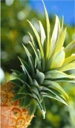 How to Select A Fresh <b>Pineapple</b>