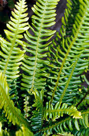 Blechnum spicant   hard fern/RHS Gardening