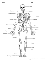 printable human skeleton diagram labeled unlabeled and blank human skeleton diagram human skeleton labeled