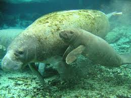 Image result for photos manatee