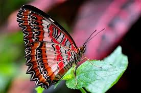 Resultado de imagem para asas de borboletas vermelhas