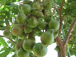 Resultado de imagem para macadamia fruto