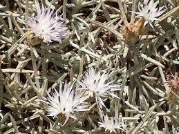 Centaurea horrida - Wikipedia