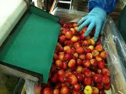 produce clerk the produce clerks handbook by rick chong giant rainier cherries being packed in for