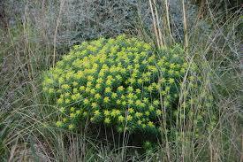Euphorbia bivonae - Wikipedia