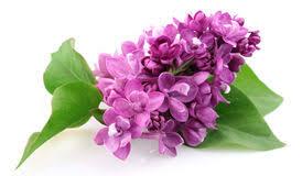 Αποτέλεσμα εικόνας για πασχαλια λουλουδι
