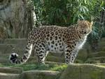 Images & Illustrations of Amur leopard