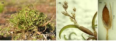 The moss grass Coleanthus subtilis – plant (a), inflorescence (b ...