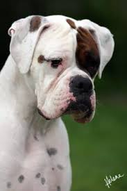 Image result for PICTURES OF WHITE BOXERS