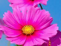 200+ лучших изображений доски «<b>космея</b>» | цветы, цветы ...
