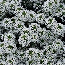 Snow Princess® - Sweet Alyssum - Lobularia hybrid | Proven Winners