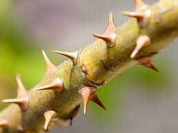 Image result for thorns