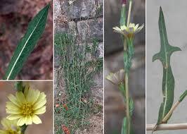 Lactuca saligna L. - Sistema informativo sulla flora vascolare dei ...
