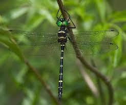 Macromiidae