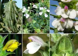 Bellardia trixago (L.) All. - Guida alla flora degli stagni temporanei ...