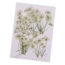 <b>10pcs</b> Natural Real <b>Lace Flower</b> Pressed Dried <b>Flowers</b> for DIY ...