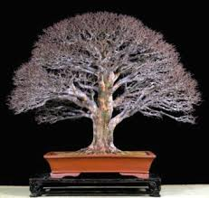 chinese elm bonsai is an easy subject chinese elm bonsai tree
