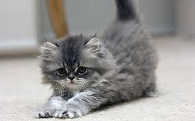 The Cute Cat Thread Images?q=tbn:ANd9GcQSBDHBec7qRz3G0IKYmfzCNiXdsx3uD_QTZiYdMcTqHF1x9fMGhA