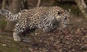 Persian <b>leopard</b>