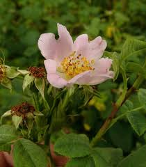 Filz-Rose – Wikipedia