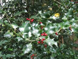 English holly identification and control: Ilex aquifolium - King County