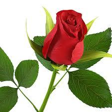 Risultati immagini per rosa rossa