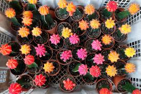 How to Care and Grow Ruby Ball Cactus (Moon Cactus)