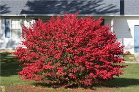 Burning Bush shrub 1