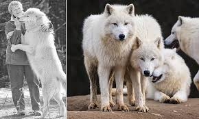 Enchanting new book reveals how <b>wolves</b> care for their elderly and ...