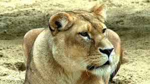 """Résultat de recherche d'images pour """"berger africain lion"""""""