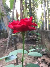 <b>Роза</b> — Википедия