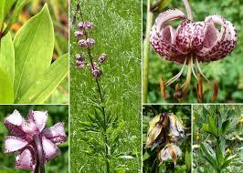 Lilium martagon L. - Sistema informativo sulla flora delle Alpi ...