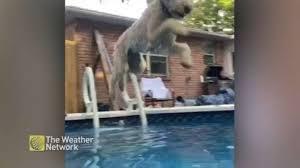 Watch pool-loving dog <b>jump</b> in on <b>hot summer</b> day