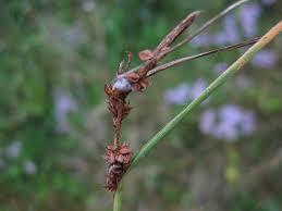 Carex extensa – Wikipédia, a enciclopédia livre