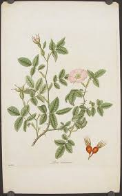 Rosa tomentosa. Downy-Leaved Dog-Rose   FLORA LONDINENSIS ...