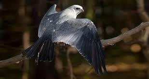 Mississippi <b>Kite</b> Identification, All About <b>Birds</b>, Cornell Lab of ...