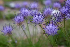 Phyteuma scheuchzeri - BBC Gardeners' World Magazine