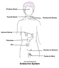 diagram   zombie factor fictionendocrine system diagram  picture