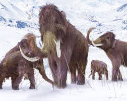 The last woolly <b>mammoths</b> on Earth had disastrous DNA | Live ...