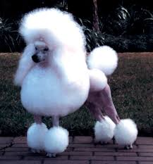 Image result for poodles dogs